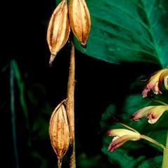 Fruits: Aplectrum hyemale. ~ By Gary Van Velsir. ~ Copyright © 2017. ~