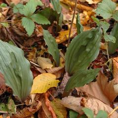 Leaves: Aplectrum hyemale. ~ By Gary Van Velsir. ~ Copyright © 2017. ~