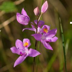 Inflorescences: Calopogon barbatus. ~ By Jim Fowler. ~ Copyright © 2017. ~