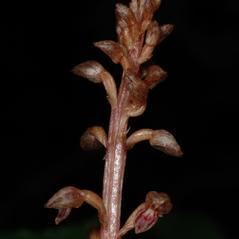 Inflorescences: Corallorhiza bentleyi. ~ By Gary Van Velsir. ~ Copyright © 2017. ~