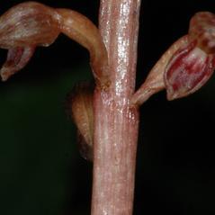 Stem: Corallorhiza bentleyi. ~ By Gary Van Velsir. ~ Copyright © 2017. ~