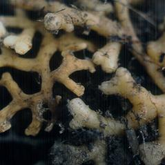 Root: Corallorhiza trifida. ~ By Marilyn Barker. ~ Copyright © 2017. ~  ~ U. of Alaska