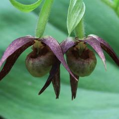 Flowers: Cypripedium fasciculatum. ~ By Ron Hanko. ~ Copyright © 2017. ~  ~ nativeorchidsofthepacificnorthwest.blogspot.com