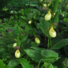 Habit: Cypripedium kentuckiense. ~ By Gary Van Velsir. ~ Copyright © 2017. ~