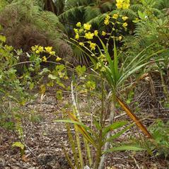 Plant form: Cyrtopodium flavum. ~ By Jim Fowler. ~ Copyright © 2017. ~