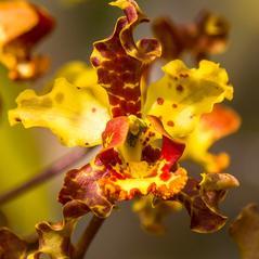 Flowers: Cyrtopodium punctatum. ~ By James T. Johnson. ~ Copyright © 2017. ~