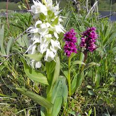 Plant form: Dactylorhiza aristata. ~ By Stacy Studebaker. ~ Copyright © 2017. ~