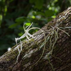 Plant form: Dendrophylax lindenii. ~ By Hal Horwitz. ~ Copyright © 2017. ~