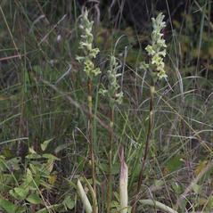 Plant form: Dichromanthus michuacanus. ~ By Ronald A. Coleman. ~ Copyright © 2017. ~