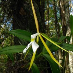 Inflorescences: Epidendrum nocturnum. ~ By Alan Cressler. ~ Copyright © 2017. ~