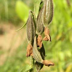 Fruits: Epipactis palustris. ~ By Ladislav Hoskovec. ~ Copyright © 2017. ~  ~ www.botany.cz