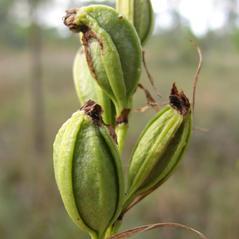 Fruits: Eulophia ecristata. ~ By David McAdoo. ~ Copyright © 2017. ~