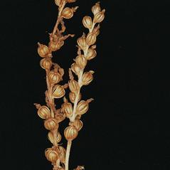 Fruits: Goodyera oblongifolia. ~ By Tom Nelson. ~ Copyright © 2017 Tom Nelson & Eric Lamont. ~  ~ Orchids of New England & New York