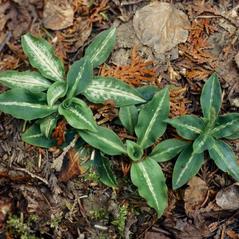 Plant form: Goodyera oblongifolia. ~ By Gary Van Velsir. ~ Copyright © 2017. ~