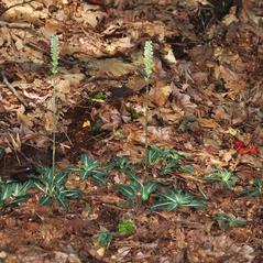 Habit: Goodyera pubescens. ~ By Gary Van Velsir. ~ Copyright © 2017. ~
