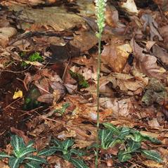 Plant form: Goodyera pubescens. ~ By Gary Van Velsir. ~ Copyright © 2017. ~