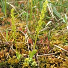 Plant form: Hammarbya paludosa. ~ By Marilyn Barker. ~ Copyright © 2017. ~  ~ U. of Alaska
