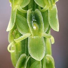 Flowers: Malaxis macrostachya. ~ By Brad Wilson. ~ Copyright © 2017. ~