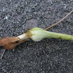 Root: Malaxis monophyllos. ~ By Marilyn Barker. ~ Copyright © 2017. ~  ~ U. of Alaska
