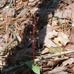 Habit: Neottia bifolia. ~ By Gary Van Velsir. ~ Copyright © 2013.