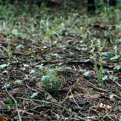 Habit: Platanthera brevifolia. ~ By Ronald A. Coleman. ~ Copyright © 2017. ~