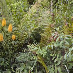Habit: Platanthera chapmanii. ~ By Brad Wilson. ~ Copyright © 2017. ~