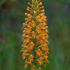 Inflorescences: Platanthera chapmanii. ~ By Jim Fowler. ~ Copyright © 2017. ~