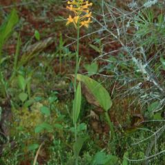 Plant form: Platanthera ciliaris. ~ By Gary Van Velsir. ~ Copyright © 2017. ~