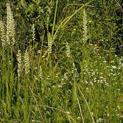 Habit: Platanthera dilatata. ~ By Gary Van Velsir. ~ Copyright © 2017. ~