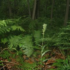 Habit: Platanthera lacera. ~ By Gary Van Velsir. ~ Copyright © 2017. ~
