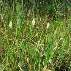 Habit: Platanthera nivea. ~ By Gary Van Velsir. ~ Copyright © 2017. ~