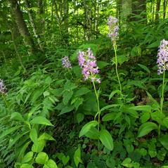 Habit: Platanthera shriveri. ~ By Brad Wilson. ~ Copyright © 2017. ~