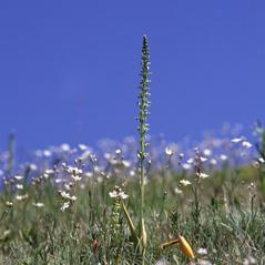 Habit: Platanthera unalascensis. ~ By Lorne Heshka. ~ Copyright © 2017. ~