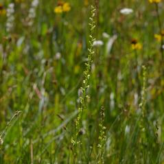 Inflorescences: Platanthera yosemitensis. ~ By Mark Larocque. ~ Copyright © 2017. ~