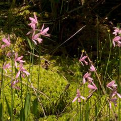 Habit: Pogonia ophioglossoides. ~ By Jim Fowler. ~ Copyright © 2017. ~