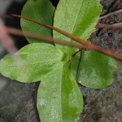 Leaves: Ponthieva brittoniae. ~ By James T. Johnson. ~ Copyright © 2017. ~