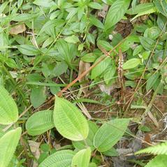 Habit: Prescottia oligantha. ~ By Roger Graveson. ~ Copyright © 2017. ~  ~ www.saintlucianplants.com