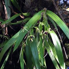 Plant form: Prosthechea cochleata. ~ By Jake Heaton. ~ Copyright © 2017. ~
