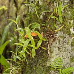 Habit: Prosthechea pygmaea. ~ By Nick Larghi. ~ Copyright © 2017. ~