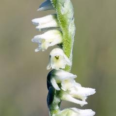 Flowers: Spiranthes laciniata. ~ By David McAdoo. ~ Copyright © 2017. ~