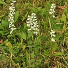 Plant form: Spiranthes ochroleuca. ~ By Gary Van Velsir. ~ Copyright © 2017. ~
