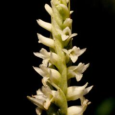 Inflorescences: Spiranthes porrifolia. ~ By Gary Van Velsir. ~ Copyright © 2017. ~
