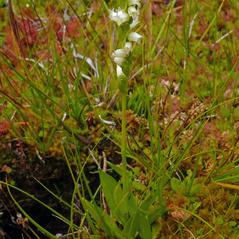 Plant form: Spiranthes stellata. ~ By Tanya Harvey. ~ Copyright © 2017. ~  ~ westerncascades.com