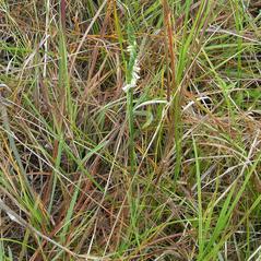 Plant form: Spiranthes torta. ~ By Roger Graveson. ~ Copyright © 2017. ~  ~ www.saintlucianplants.com