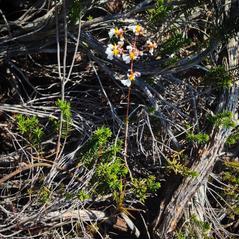 Habit: Tolumnia bahamensis. ~ By Chris Evans. ~ Copyright © 2017. ~  ~ www.foottraxphotography.com