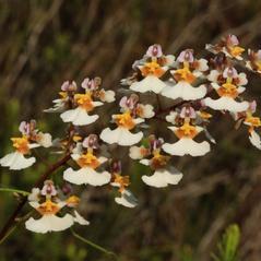 Inflorescences: Tolumnia bahamensis. ~ By Alan Cressler. ~ Copyright © 2017. ~