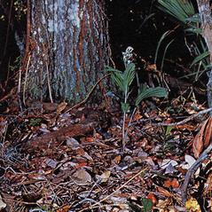 Habit: Tropidia polystachya. ~ By Carlyle A. Luer. ~ Copyright © 2017. ~  ~ The Native Orchids of Florida
