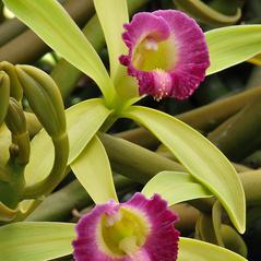 Flowers: Vanilla dilloniana. ~ By Roger L. Hammer. ~ Copyright © 2017. ~