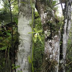 Plant form: Vanilla phaeantha. ~ By Jake Heaton. ~ Copyright © 2017. ~