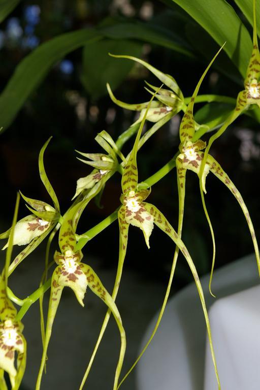 Brassia Caudata Spider Orchid Go Orchids